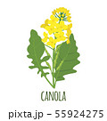 Canola flower in flat style isolated on white. 55924275