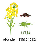 Canola Flowers with Pod and Seeds in flat style. 55924282