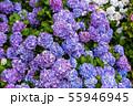 紫陽花 二本松寺 55946945
