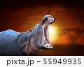 Hippo on savanna landscape background and Mount 55949935