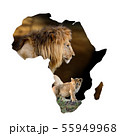 Male lion and cub portrait in Africa map on white 55949968