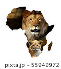 Male lion and cub portrait in Africa map on white 55949972