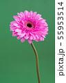beautiful pink gerbera on a green background 55953514