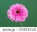 beautiful pink gerbera on a green background 55953516