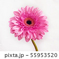 beautiful pink gerbera on a white background 55953520