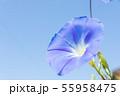 青いアサガオの花 55958475