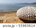 shell sea shore 55963614