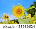 夏の花ひまわり 55989624