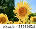 夏の花ひまわり 55989628