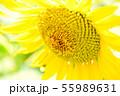 ひまわりにミツバチ 55989631