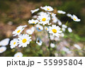 Close-up of a bush of wild chamomile on a contrasting background on a sunny day. The concept of 55995804