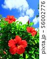 南国・喜界島のハイビスカス 56002776