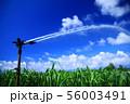 南国・喜界島のサトウキビ畑とスプリンクラー 56003491