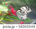 喜界島のオオゴマダラ 56003549