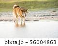 砂浜で遊ぶ柴犬 56004863