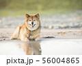 砂浜で遊ぶ柴犬 56004865