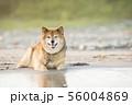 砂浜で遊ぶ柴犬 56004869