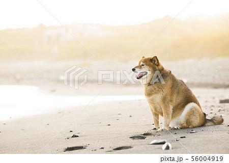 砂浜で遊ぶ柴犬 56004919