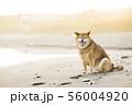 砂浜で遊ぶ柴犬 56004920