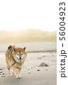 砂浜で遊ぶ柴犬 56004923