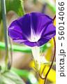 アサガオの花 56014066