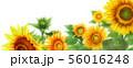 ブログ用ヘッダ画像ひまわり 56016248