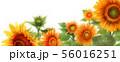 ブログ用ヘッダ画像ひまわり 56016251