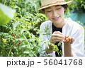 女性 収穫 トマト 畑 56041768