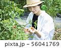 女性 収穫 トマト 畑 56041769