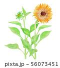 Helianthus annuus ヒマワリ 56073451