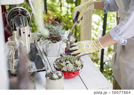 ガーデニングイメージ 多肉植物の寄せ植えをする女性手元 56077864