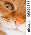 Cute ginger cat is dozing. Close up photo of pet 56239588