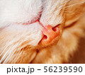 Cute ginger cat is dozing. Close up photo of pet 56239590