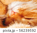 Cute ginger cat is dozing. Close up photo of pet 56239592
