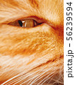 Cute ginger cat is dozing. Close up photo of pet 56239594