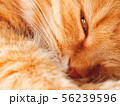 Cute ginger cat is dozing. Close up photo of pet 56239596
