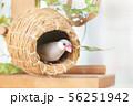 壺巣とシルバー文鳥のメス 56251942