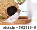 壺巣とシルバー文鳥のメス 56251946