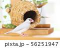 壺巣とシルバー文鳥のメス 56251947