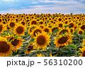 field of sunflowers 56310200