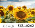 field of sunflowers 56310202