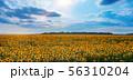 field of sunflowers 56310204