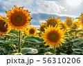 field of sunflowers 56310206