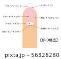 爪の構造 図 ベクター イラスト 56328280