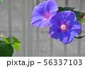 龍宮朝顔 56337103