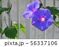 龍宮朝顔 56337106
