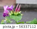 龍宮朝顔 56337112