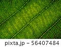 nature texture macro leaf veins high detail 56407484