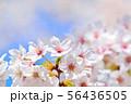埼玉県大宮公園の桜 56436505