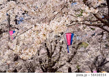 埼玉県大宮公園の桜 56436554